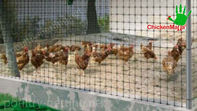 Chicken cage using CHICKENMALLAS poultry netting