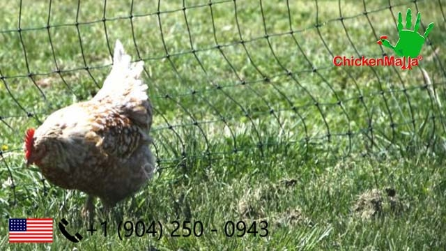 A chicken stoped by poultry netting