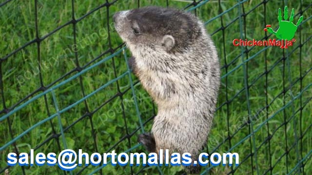 Groundhog stopped by poultry netting