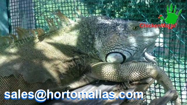 Have your own iguanas with Poultry netting