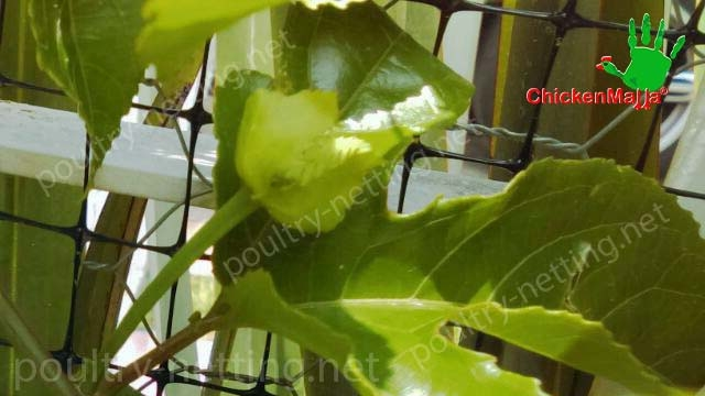 Poultry netting to protect passiflora production