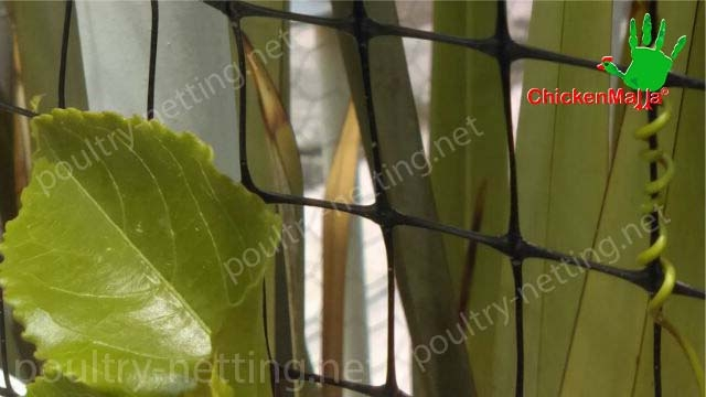 Poultry netting to protect passionflower