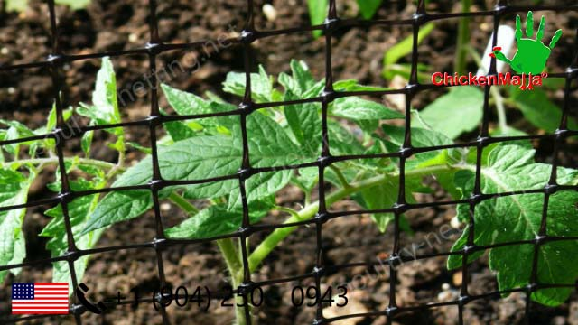 Tomatoes crop protection using Poultry netting